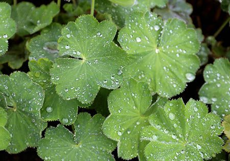 frauenmantel alchemilla vulgaris
