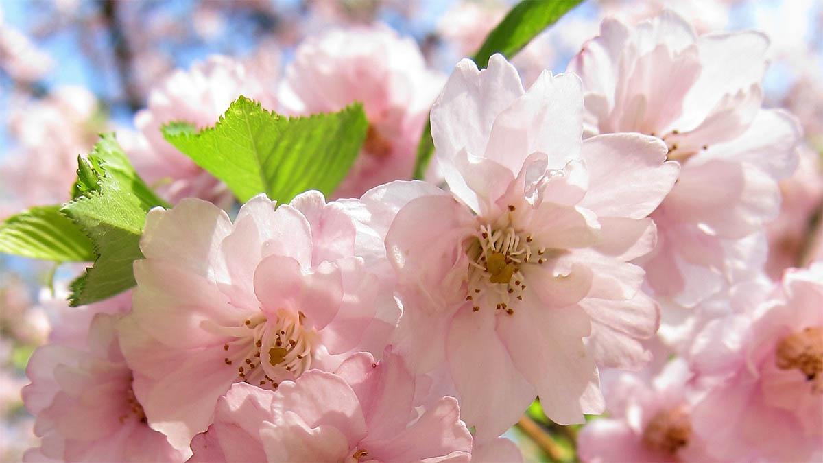 fruehling-rosa-blueten