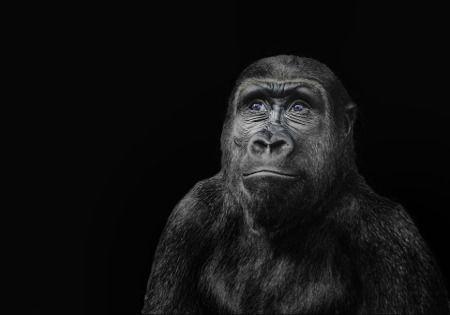 gorilla-positiver-freundlicher-blick