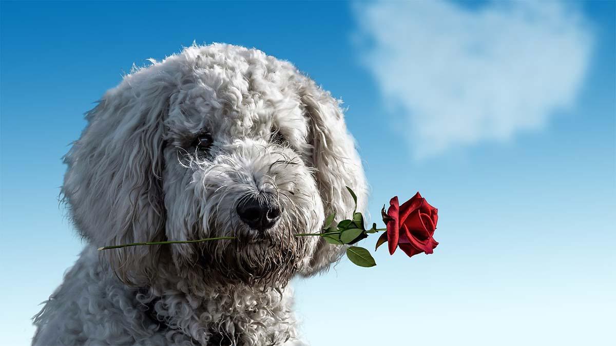 hund-rose-herz