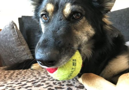 hund tennisball