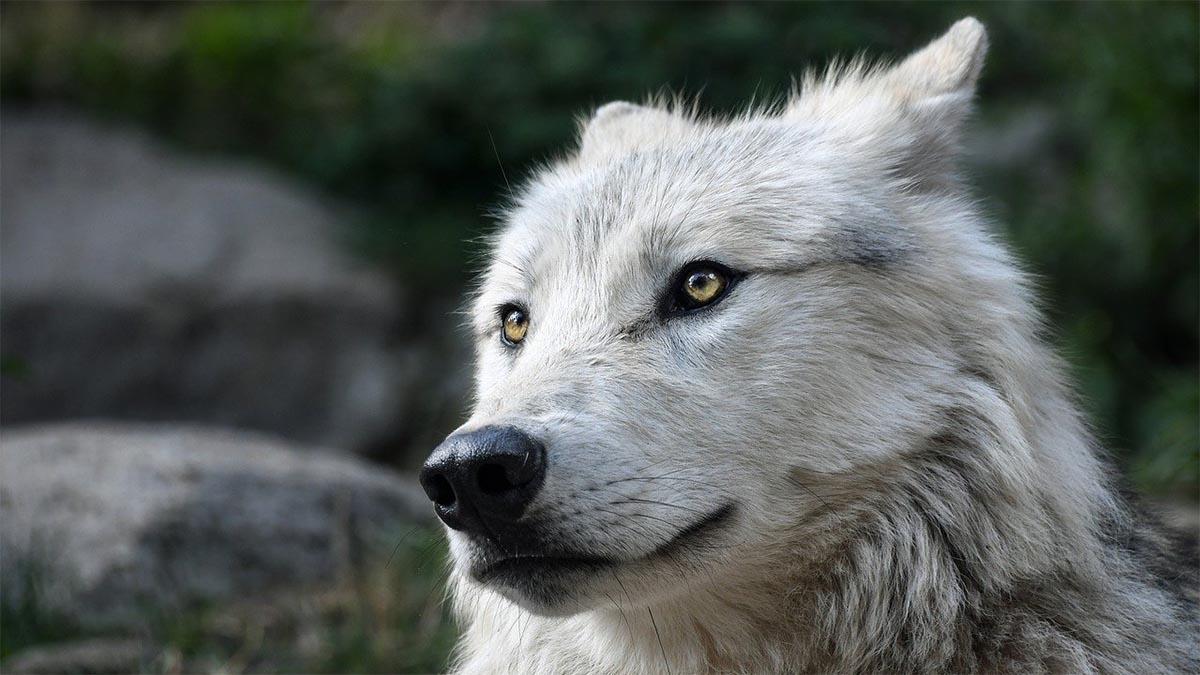 hund wolf an