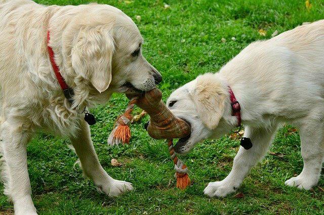 hunde spielen mit plueschknochen