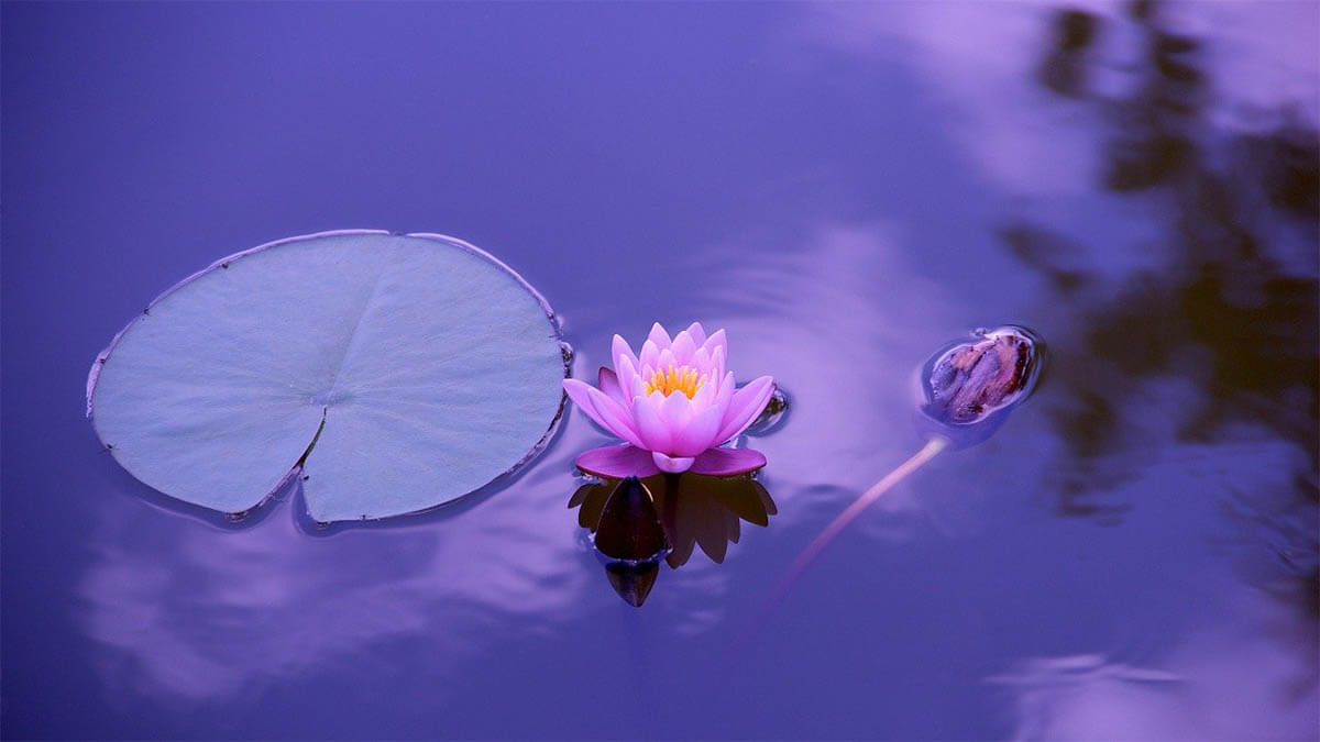 lotus-im-blauen-wasser