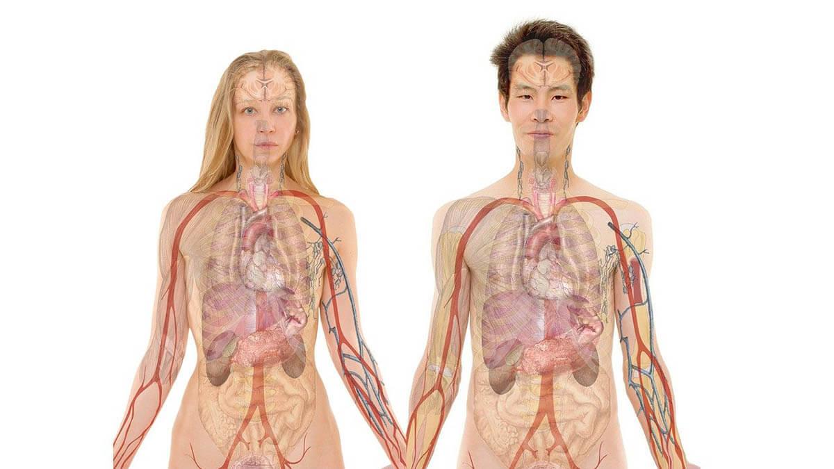 mann-frau-organe-anatomie