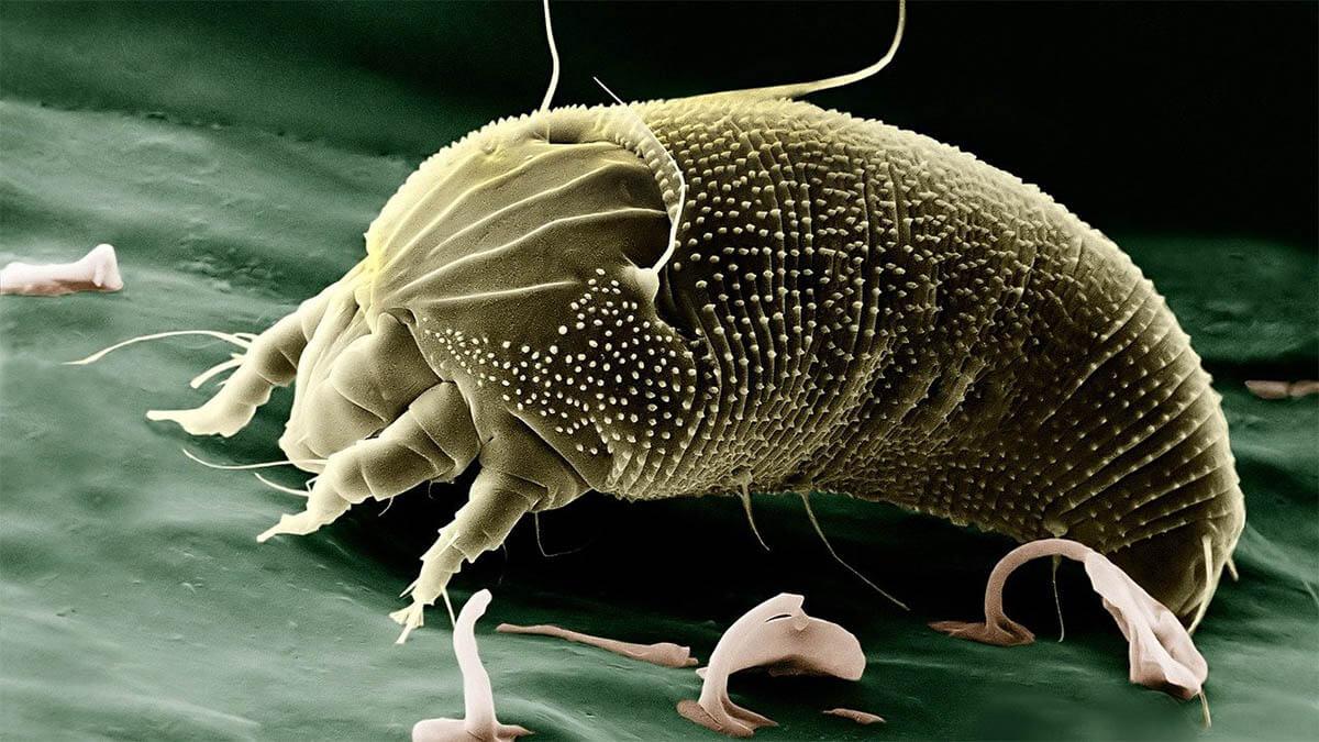 milbe-mikroskop