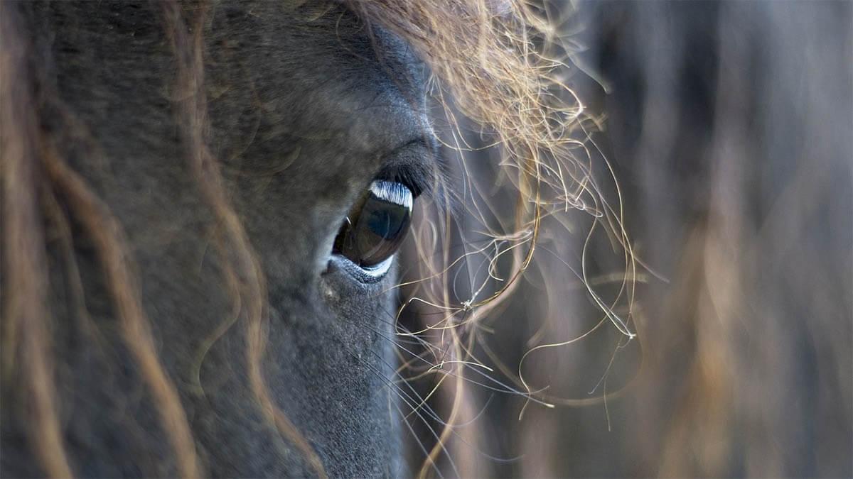 pferd auge klein