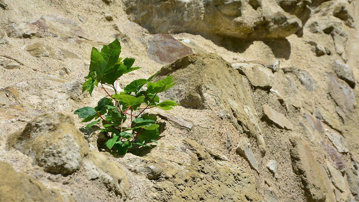 pflanze-durchsetzen-stein