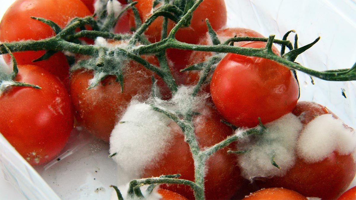 schimmelpilze-auf-tomaten