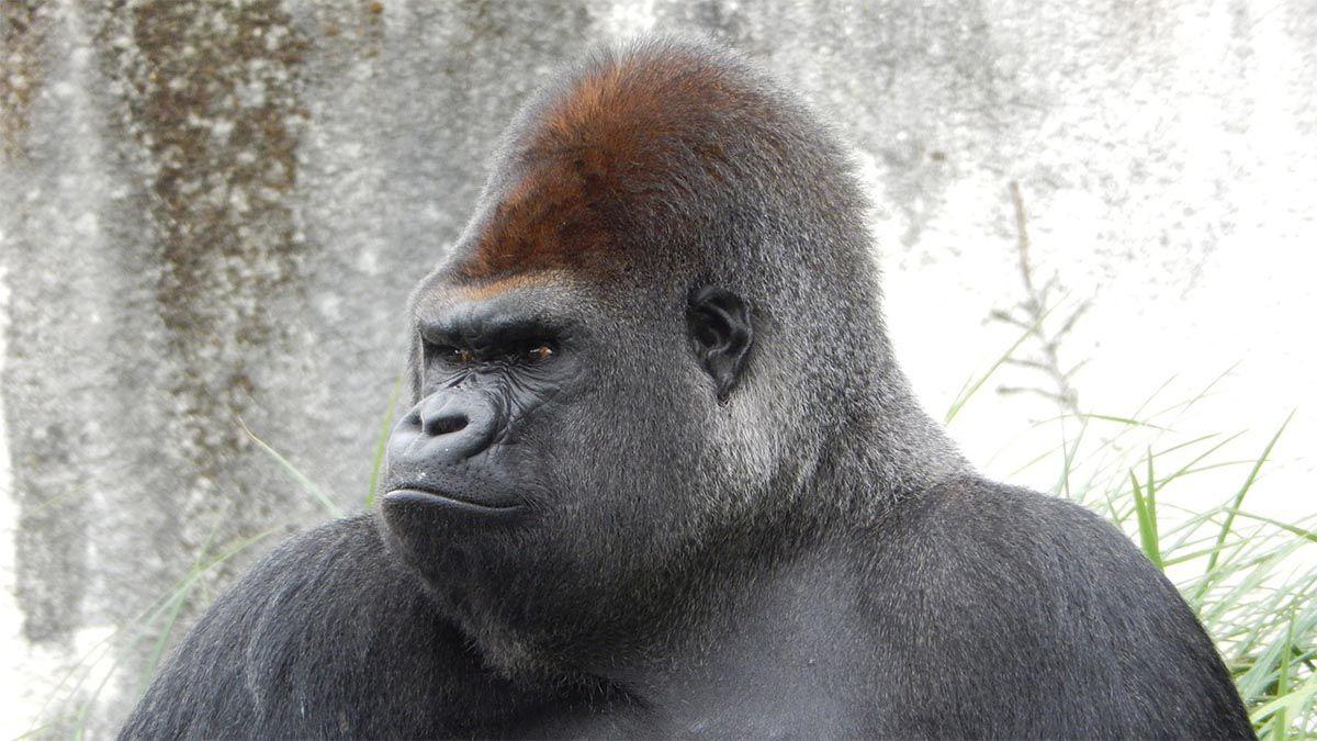 gorilla boeser blick