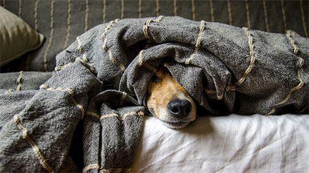 hund-krank-bettdecke