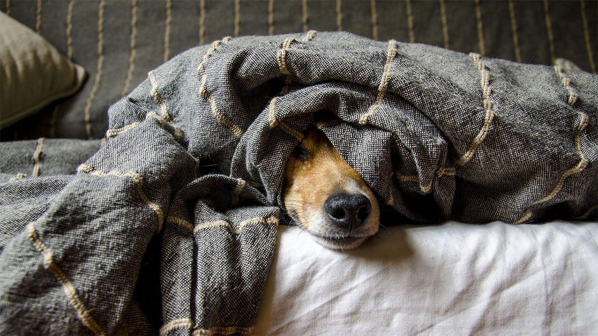 hund-krank-unter-bettdecke