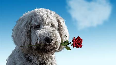 Hund Rose Herz Low
