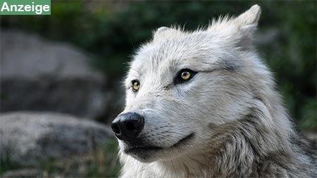 hund-wolf