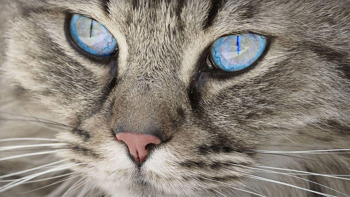 katzenkopf-grau-blaue-augen