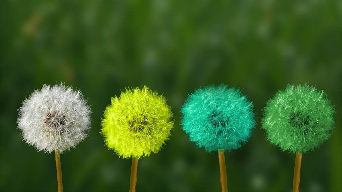 loewenzahn-farbe-veraendert
