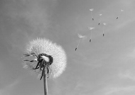 loewenzahn pusteblume schwarz weiss