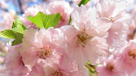 rosa-blueten