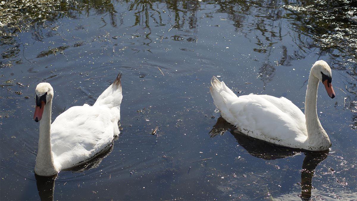 schwaene-schwimmen-voneinander-weg
